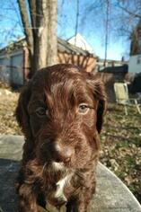 Springerdoodle Puppy For Sale in PROVIDENCE, RI, USA