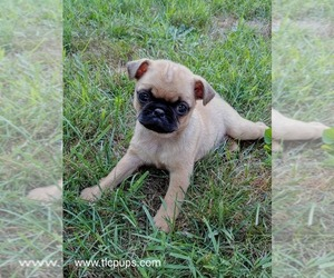 Pug Puppy for sale in NEWMANSTOWN, PA, USA