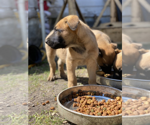Belgian Malinois Puppy for sale in SAN ANTONIO, TX, USA
