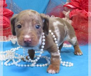 Dachshund Puppy for Sale in FOYIL, Oklahoma USA