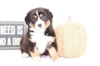 Australian Shepherd Puppy For Sale in NAPLES, FL, USA