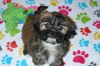 Lhasa Apso Puppy For Sale in TUCSON, AZ, USA