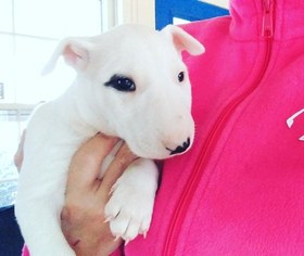 Bull Terrier Puppy for sale in RICHLAND, MI, USA