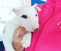 Bull Terrier Puppy For Sale in RICHLAND, MI