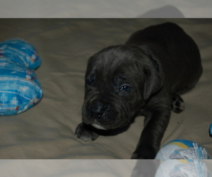 Cane Corso Puppy for sale in LAKEVIEW, CA, USA