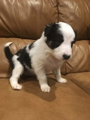 Border Collie Puppy For Sale in EAGLE MOUNTAIN, UT, USA