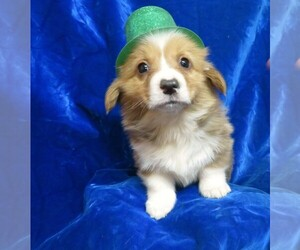Pembroke Welsh Corgi Puppy for sale in NORWOOD, MO, USA