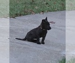 Puppy 1 Dutch Shepherd Dog