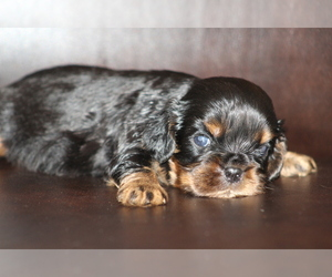 Cavalier King Charles Spaniel Puppy for sale in DEMOREST, GA, USA