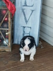 Border Collie Puppy For Sale in BRAYTON, IA, USA