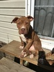 American Bully Puppy For Sale in ABERDEEN, NC, USA