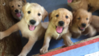 Golden Retriever Puppy For Sale in GRANITE FALLS, MN, USA