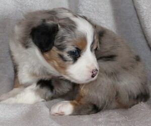 Miniature American Shepherd Puppy for Sale in LUCK, Wisconsin USA