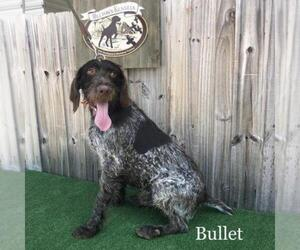 Father of the German Wirehaired Pointer puppies born on 07/16/2020