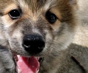 Pomsky Puppy for sale in STANWOOD, IA, USA