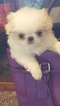 Japanese Chin Puppy For Sale in SALEM, OR