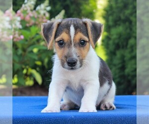Jack Russell Terrier Dog for Adoption in LEBANON, Pennsylvania USA