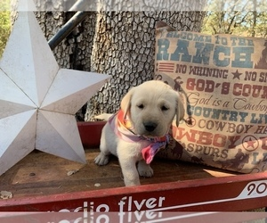 Labrador Retriever Puppy for sale in MIDDLETOWN, CA, USA
