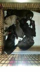 Great Dane Puppy For Sale in KINGSLAND, GA