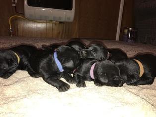 Labrador Retriever Puppy For Sale in HAVANA, KS