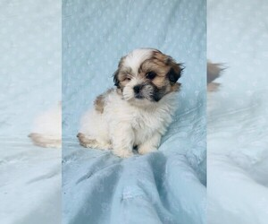 Zuchon Puppy for sale in GRAY HAWK, KY, USA