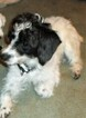 Small #4 Jack Russell Terrier-Poodle (Standard) Mix