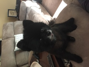 Pomeranian Dog For Adoption in MAULDIN, SC, USA