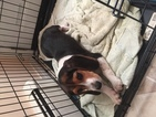 Beagle Puppy For Sale in NORWALK, CT