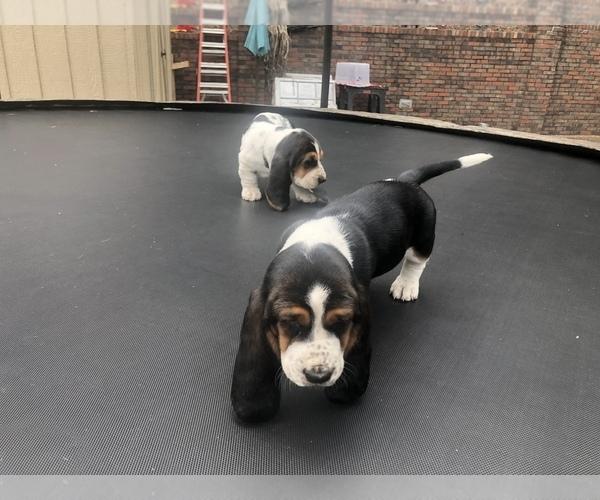 Medium Photo #10 Basset Hound Puppy For Sale in DALTON, GA, USA