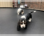 Small Photo #10 Basset Hound Puppy For Sale in DALTON, GA, USA