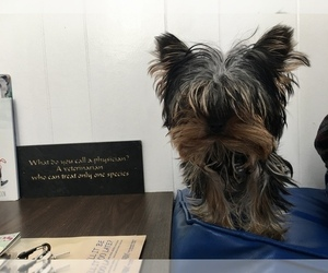 Father of the Yorkshire Terrier puppies born on 07/21/2021
