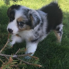 Miniature Australian Shepherd Puppy For Sale in SPIRIT LAKE, ID