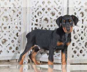 Doberman Pinscher Puppy for sale in MOUNT VERNON, OH, USA