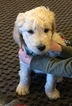 Goldendoodle-Unknown Mix Puppy For Sale in COLORADO SPRINGS, CO, USA