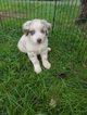 Australian Shepherd Puppy For Sale in HARRISBURG, VA, USA