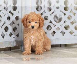 Poodle (Standard) Dog for Adoption in MOUNT VERNON, Ohio USA