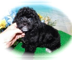 Zuchon Puppy for Sale in HAMMOND, Indiana USA