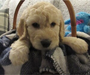 Goldendoodle Dog for Adoption in CANANDAIGUA, New York USA