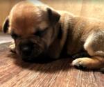 Puppy 5 Staffordshire Bull Terrier