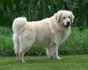 View Ad Golden Retriever Puppy For Sale Near Wisconsin Marshfield