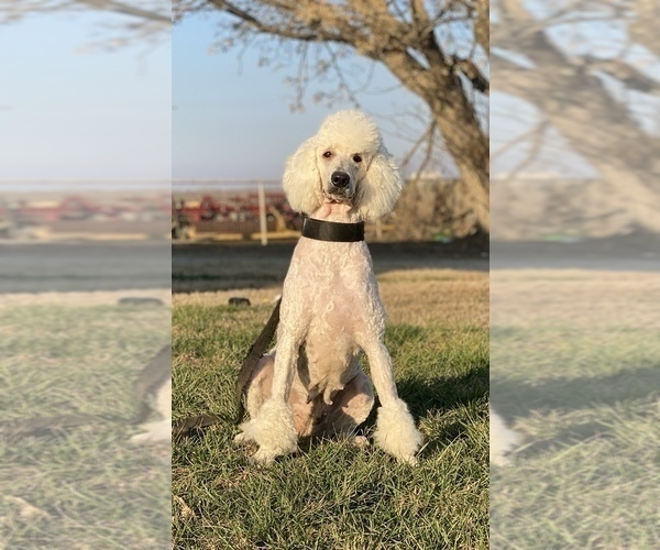 Medium Photo #1 Aussiedoodle Puppy For Sale in HANFORD, CA, USA