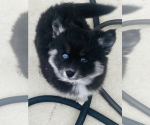 Pomsky Puppy for sale in DACULA, GA, USA