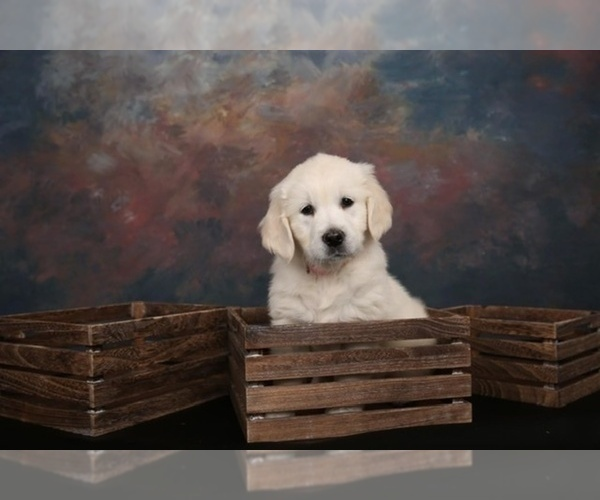 Full screen Photo #30 English Cream Golden Retriever Puppy For Sale in ARCHBALD, PA, USA