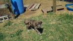 Daniff Puppy For Sale in PEYTON, Colorado,