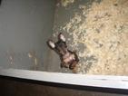 Miniature Pinscher Puppy For Sale in CARROLLTON, GA, USA