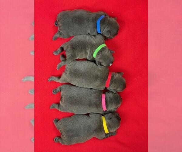 Medium Photo #3 French Bulldog Puppy For Sale in TAMPA, FL, USA
