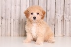 Poochon Puppy For Sale in MOUNT VERNON, OH, USA