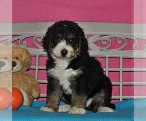 Bernedoodle Puppy for sale in NOTTINGHAM, PA, USA