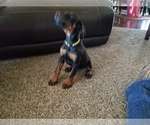 Small #24 Doberman Pinscher