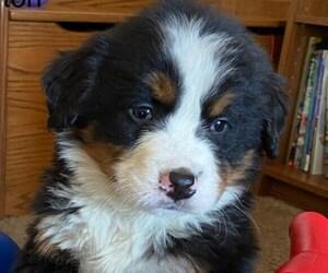 Bernese Mountain Dog Puppy for Sale in KILLBUCK, Ohio USA